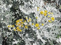 Centaurea cineraria Silver Dust Dusty Miller Samen
