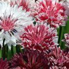 Centaurea cyanus Cornflower Classic Romantic  semi