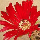 Cephalophyllum alstonii Sukkulente Samen