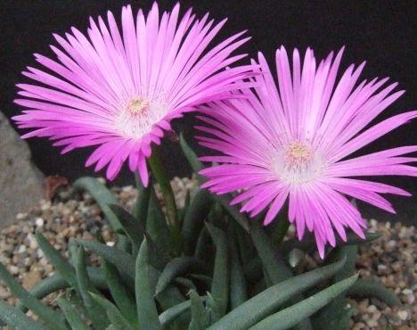 Cephalophyllum subulatoides  semillas