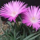 Cephalophyllum subulatoides syn: Mesembryanthemum subulatoides graines