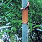 Cephalostachyum pergracile Tinwa Bambou graines