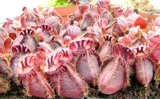 Cephalotus follicularis  semillas