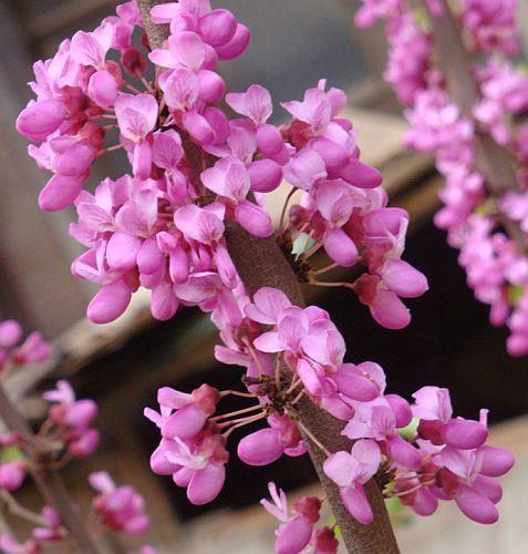 Cercis chinensis Chinesischer Judasbaum Samen