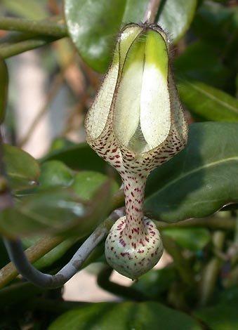 Ceropegia albisepta Leuchterblume Samen