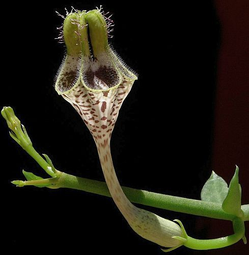 Ceropegia radicans Leuchterblume Samen
