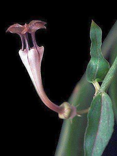 Ceropegia rendalii Asclepiadaceae semi