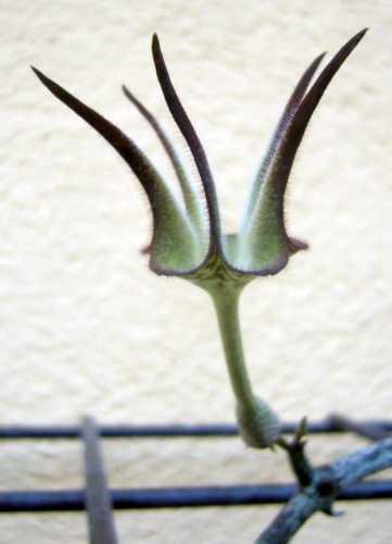 Ceropegia stapeliformis Leuchterblume Samen