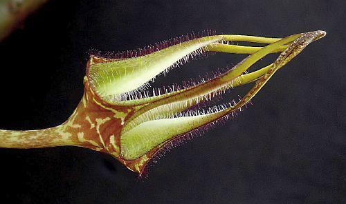 Ceropegia stapeliformis ssp serpentinus Leuchterblume Samen