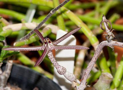 Ceropegia variegata Leuchterblume Samen