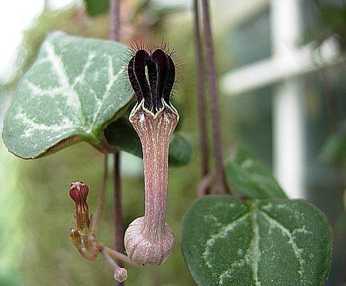 Ceropegia woodii Leuchterblume Samen