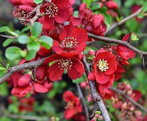 Chaenomeles japonica Japanische Zierquitte Samen