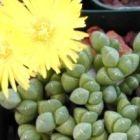 Cheiridopsis meyeri Aizoaceae - Mesemb Samen