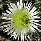 Cheiridopsis mixed Sukkulente Samen