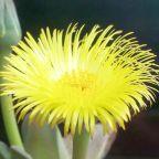 Cheiridopsis peculiaris  cемян