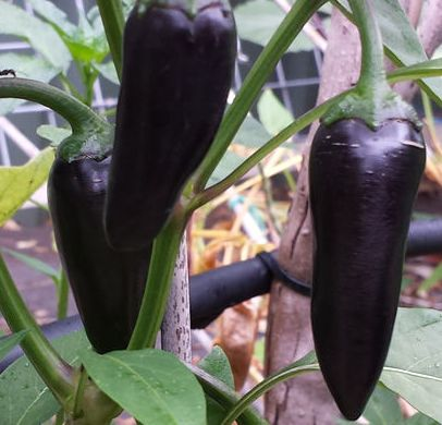 Chili Black Hungarian Chili schwarz Samen