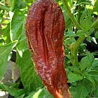 Chili Black Naga chile semillas