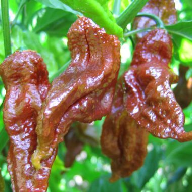 Chili Chocolate Bhut Jolokia  semi