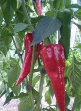 Chili Cyklon  semi