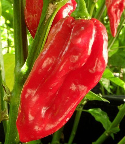 Chili Devils Tongue Red Chili Samen
