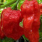 Chili King Naga peperoncino semi