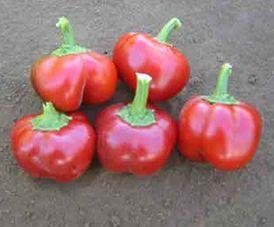 Chili Mexibell F1 Hybrid Chili süß Samen