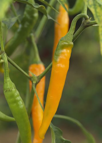 Chili Orange Cayenne Chili Orange Cayenne Samen