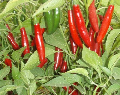 Chili Serrano Chili Samen