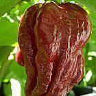 Chili Trinidad Douglah 7 Pot Chili Samen