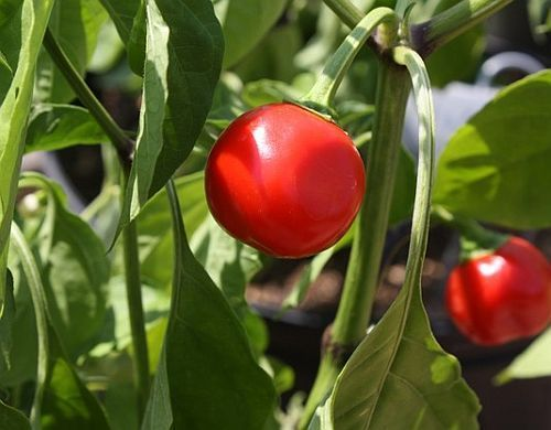 Chili Trinidad Red Hot Cherry Chili Samen