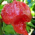 Chili Trinidad Scorpion Butch T Strain Chili Samen