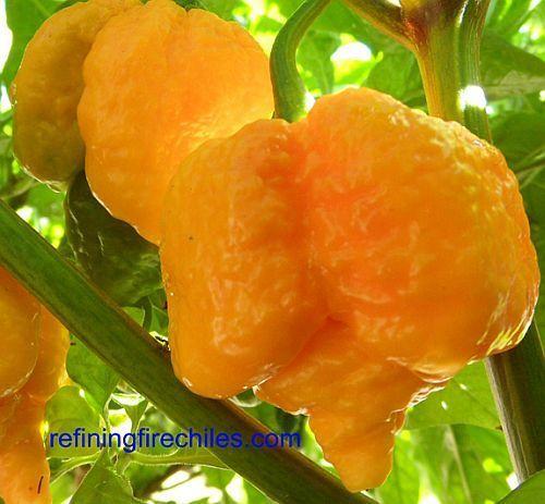Chili Trinidad Yellow 7 Pod Chili Samen