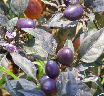 Chilli Hot Pretty Purple Chilli violett - scharf Samen