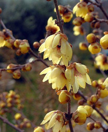 Chimonanthus praecox Chinesische Winterblüte Samen