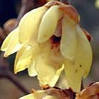 Chimonanthus praecox Chimonanthus graines