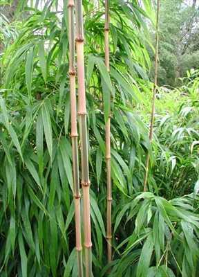 Chimonobambusa quadrangularis vierkantiger Bambus Samen