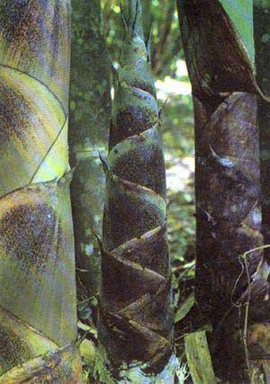 Chimonobambusa tuberculata Winterbambus Samen