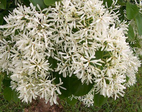 Chionanthus retusus Chinesischer Fransenbaum Samen
