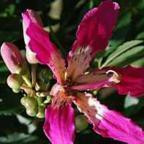 Chorisia speciosa Хоризия великолепная cемян
