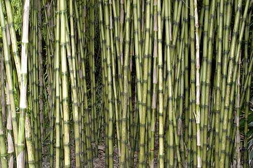 Chusquea culeou Andean weeping bamboo - Chilean bamboo seeds