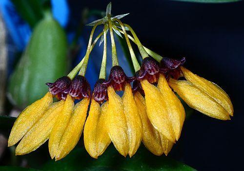 Cirrhopetalum retusiusculum orchidea semi