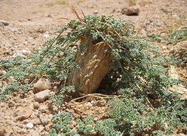 Citrullus ecirrhosus Zitrulle Samen