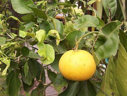 Citrus maxima Pampelmuse Samen