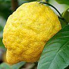 Citrus medica Лимон   cемян