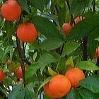 Citrus mitis Карликовое апельсиновое дерево. Кумкват   cемян