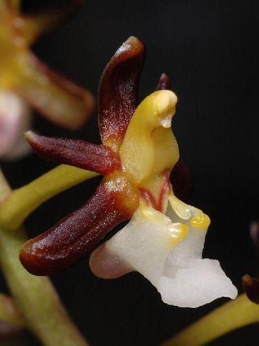 Cleisostoma fuerstenbergianum Orchideen Samen