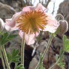 Clematis villosa Kletterpflanze Samen