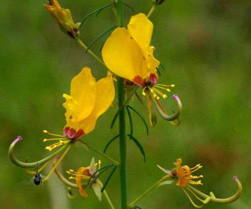 Cleome angustifolia ssp diandra syn: Dianthera burchelliana Samen