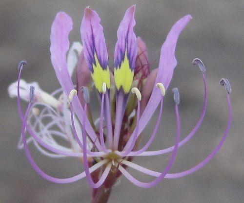 Cleome hirta  semi
