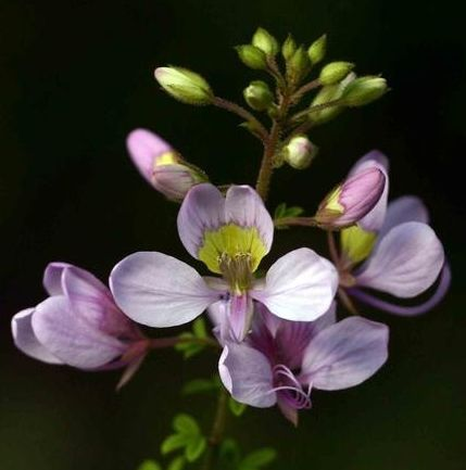 Cleome oxyphylla var robusta Erbsenbusch Samen